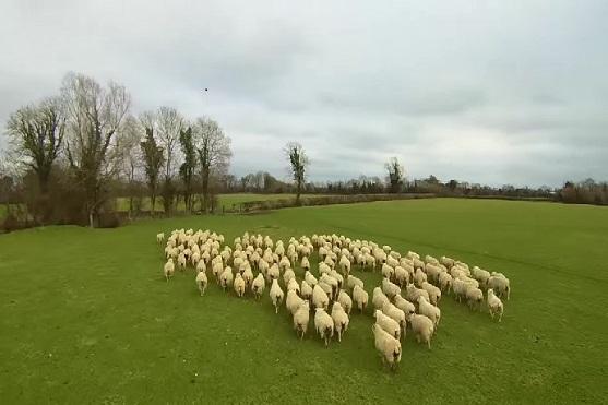 Pohled z dronu při nahánění ovcí | Zdroj: video