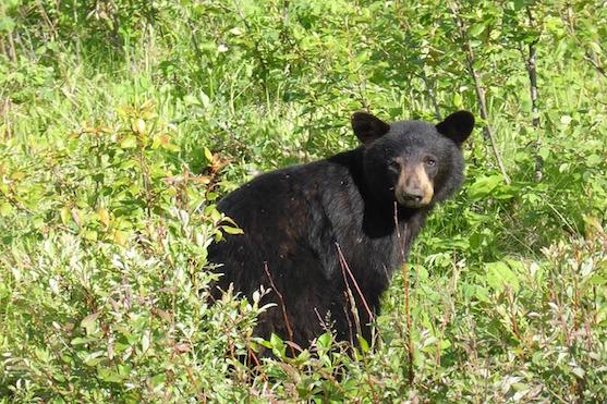 Černý medvěd - ilustrační foto | pixabay.com