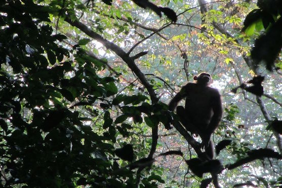 Šimpanz v koruně stromu | Zdroj: Liverpool John Moores University