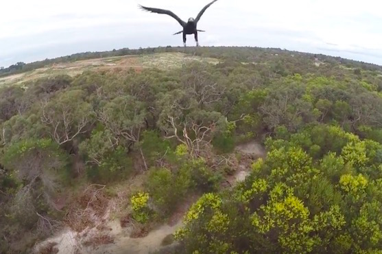 Orel pár momentů před tím, než sestřelil dron | Zdroj: video